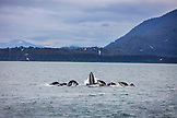 USA, Alaska, Juneau, Humpback Whales spotted bubble net feeding while whale watching and exploring in Stephens Passage