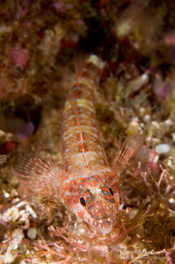 Sea of Cortez, Baja California, Mexico; a Lizard Triplefin (Crocodilichthys gracilis) fish camouflaged against the rocky reef