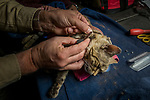 Black-footed Cat (Felis nigripes) biologist, Alex Sliwa, collaring male at night, Benfontein Nature Reserve, South Africa