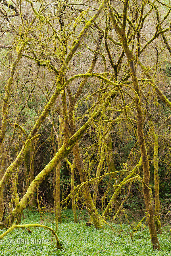 Moss-covered trees in Hendy Woods State Park, California