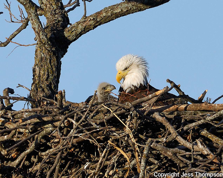 Adult Bald Eagle in nest with eaglet near Llano, TX