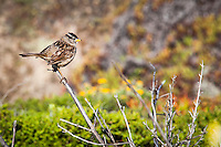 A White-crowned sparrow, perched along the trail at Bean Hollow State Beach.