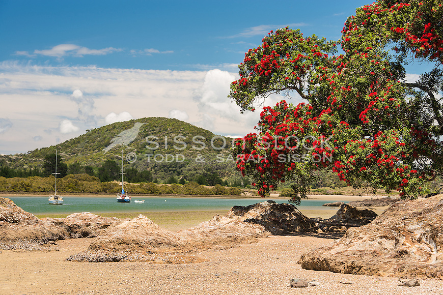 Pohutukawa tree in full bright red bloom on the Tutukaka Coast, Northland, New Zealand - stock photo, canvas, fine art print