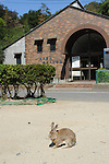 """Okunoshima: October 2nd, 2013, 2013, Hiroshima Prefecture, Japan - Okunoshima is a small island located in the Inland Sea of Japan in the city of Takehara, Hiroshima Prefecture. It is accessible via ferry boat from the towns of Tadanoumi and Omishima. It is often called Usagi Jima (""""Rabbit Island"""" in Japanese) because of the great number of wild rabbits roaming the island, which are friendly and usually approach humans. Okunoshima played a key role during World War II as a poison gas factory, because of its isolation, and because it was far enough from Tokyo and other areas in case of disaster. Residents and employees were not told what the plant was manufacturing and everything was kept secret; many of them, working in very harsh conditions, suffered from toxic-exposure related illnesses afterwards. With the end of the war, documents concerning the plant were burned and Allied Occupation Forces disposed of the gas, (either by dumping, burning, or burying it) and people were told to be silent about the project. The island has now a hotel, a six-hole golf course, a small camping ground and also hosts a poison gas museum. About 500 rabbits actually live freely on Okunoshima; when the land was developed as a park after World War II, they were intentionally set loose. Hunting these creatures is forbidden and dogs and cats are not allowed on the island. The ruins of the old forts and the gas factory can be found all over the place, but entry is prohibited as it is too dangerous. (Photo by Francesco Libassi/AFLO)"""
