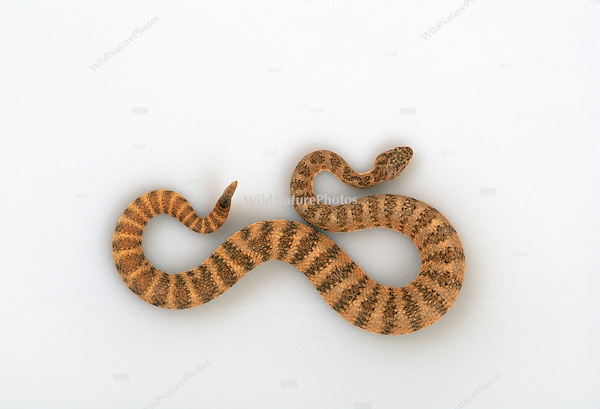 Tiger Rattlesnake, Crotalus tigris, studio portrait, studio portrait, ideal for cutout