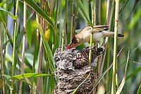 Kuckuck, Küken im Nest eines Teichrohrsänger, Teichrohrsänger füttert das Kuckucks-Küken, Brutparasitismus, Cuculus canorus, Cucullus canorus, cuckoo