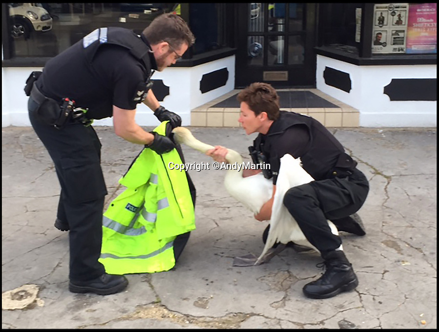 BNPS.co.uk (01202 558833)<br /> Pic: AndyMartin/BNPS<br /> <br /> PC Mel Rooney and PC Dan Meeks throw a high-vis jacket over the swan to calm it down.<br /> <br /> It's a swan-vesta...<br /> <br /> This is the hilarious moment two police officers captured a runaway swan - by throwing a hi-vis jacket over it.<br /> <br /> Bemused motorists reported seeing the stray water bird waddling along a pavement next to a busy road in Christchurch, Dorset, during rush hour.<br /> <br /> PC Mel Rooney and PC Dan Meeks used his bright yellow coat to throw over the bird in order to trap it.