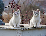 Two curious gray and white kittens on rustic table outdoors
