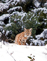BOBCAT HUNTING IN THE SNOW
