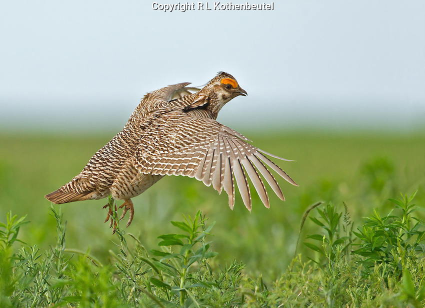 Lesser prairie chicken male flying into the lek in central Oklahoma.<br />