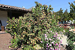 Cactus and roses at Mission San Francisco Solano, Mission Sonoma