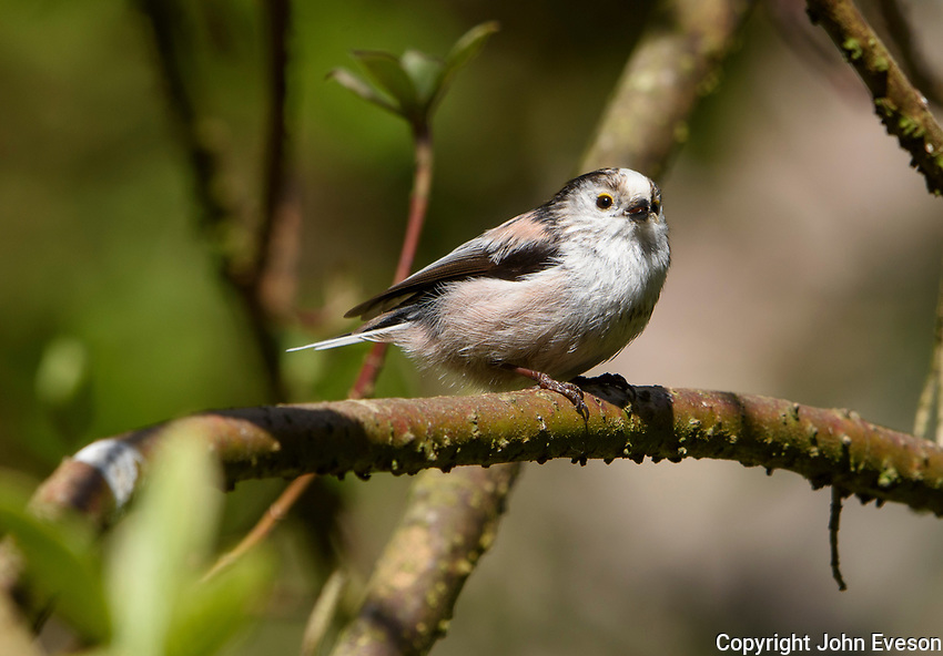 A long tailed tit, Chipping, Lancashire.