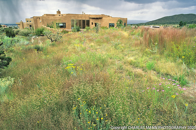 Native plant expert and xeriscape designer created this naturalistic native grass landscape in Albuquerque using Little Bluestem, Andropogon scoparius, Blue Gramma, Bouteloua gracilis, and other native grasses.