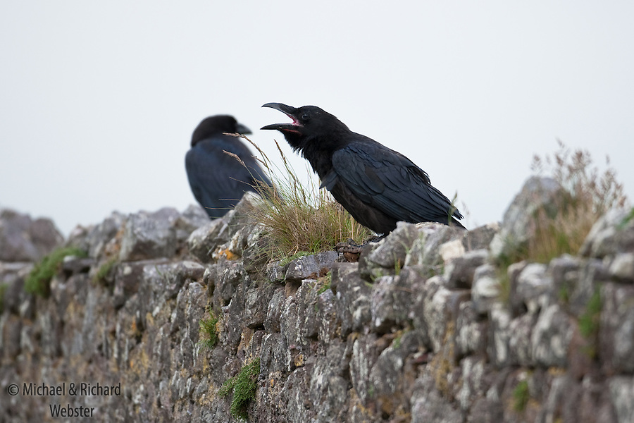 Ravens are the largest of the crow family in europe.  They are a successful species and in recent years have taken advantage of new 'cliff type' habitats such as quarries.