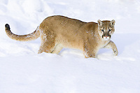 Young Puma walking through the snow - CA