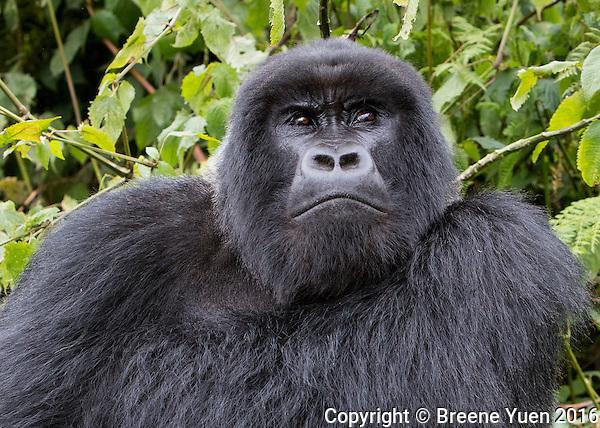 Gorilla Silverback Frown Rwanda 2015