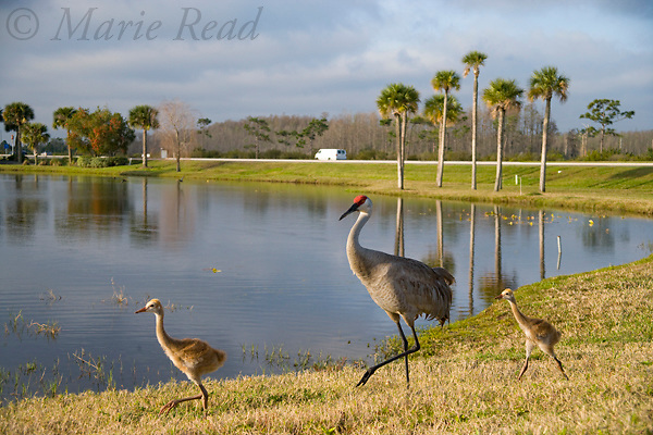 Greater Sandhill Cranes (Grus canadensis) (Florida race), adult and chicks at a suburban pond, Kissimmee, Florida, USA