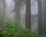 Redwood National Park, CA   <br /> Flowering Pacific Rhododendron  (R. macrophyllum) in a foggy Redwood (Sequoia sempervirens) forest  -  Del Norte Coast Redwoods State Park