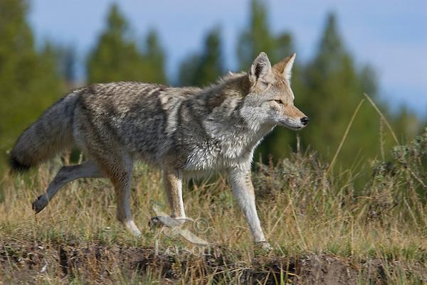 Coyote (Canis latrans).  Western U.S., fall.