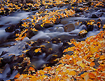 Inyo National Forest, CA<br /> Detail of fall colored cottonwood leaves among the rocks of McGee Creek in the eastern sierras
