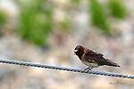 cliff swallow, petrochelidon pyrrohonota