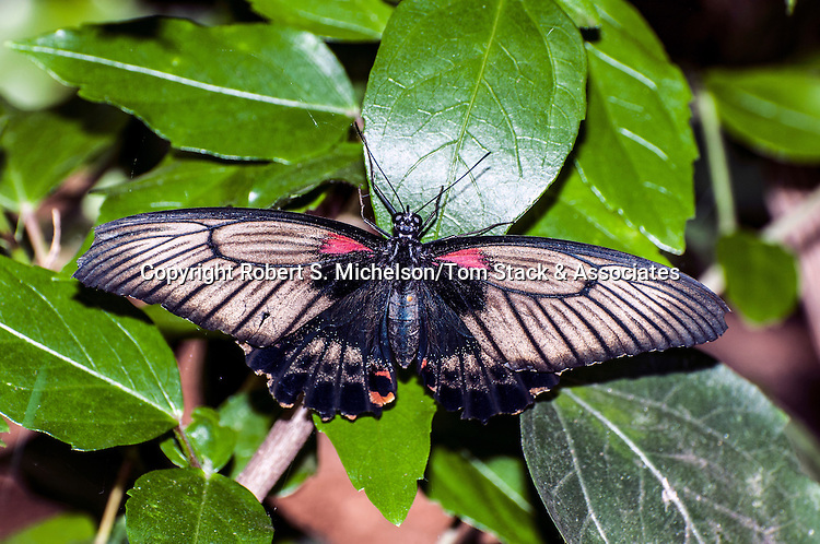the great mormon butterfly, female resting on green leaves