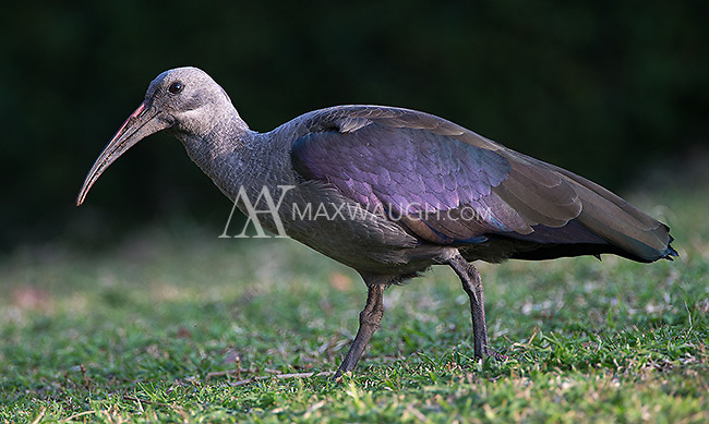 Hadeda ibis have lovely iridescent feathers that shine purple in the right light.