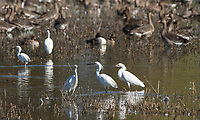 Snowy Egrets, Egretta thula, at Colusa National Wildlife Refuge, California