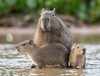 "I'm not a big fan of adult capybaras, but the ""babybaras"" sure are cute."