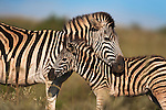 Plains zebra, Equus burchelli, with foal, Ithala game reserve, KwaZulu Natal, South Africa