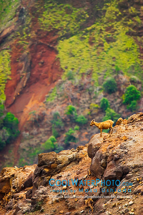Wild Mountain Goats or Feral Goats, Capra hircus, introduced spcecies, destructive to Hawaiian native plants, inhabit rugged mountain around 2,000 to 9,000 feet above sea level, Waimea Canyon State Park, Kauai, Hawaii