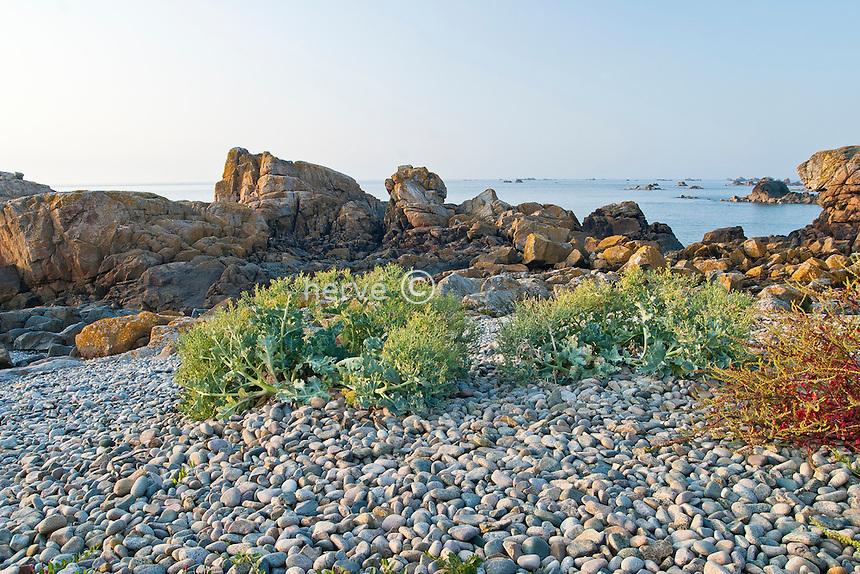 France / Bretagne / Côtes-d'Armor (22) / Plougrescant / Pors-Hir : crambe maritime (Crambe maritima) en haut de plage dans les galets // Crambe maritima, Sea kale (France, Brittany, Plougrescant)