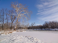 A Sycamore tree stands tall on the Winter shore of the DuPage River as it flows through Hammel Woods Forest Preserve, Will County, Illinois