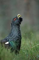 Capercaillie - Tetrao urogallus