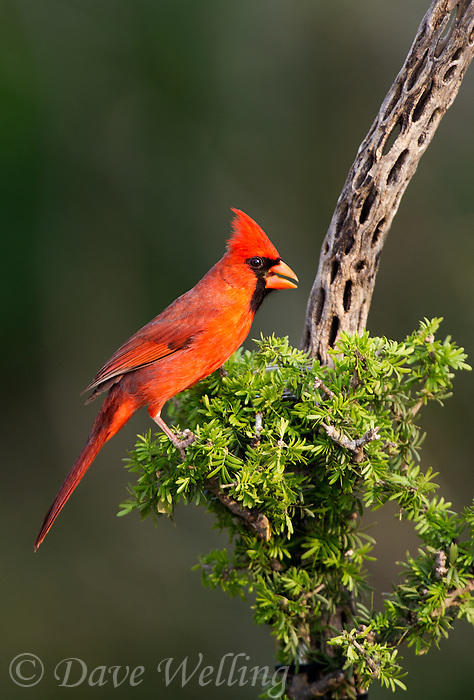 511650101 a wild male northern cardinal cardinalis cardinalis perches on a small mesquite bush on dos venadas ranch starr county rio grande valley texas united states