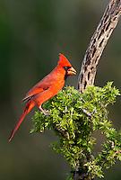 511650101 a wild male northern cardinal cardinalis cardinalis perches on a small mesquite bush on dos venadas ranch starr county rio grande valley texas united states