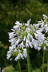 This is a plant portrait of Agapanthus 'Blue Moon'.