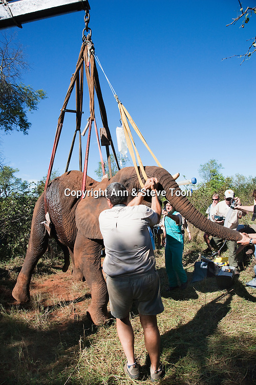 Wild elephant, Loxodonta africana, being manoeuvred into position for laparoscopic vasectomy carried out by Elephant Population Management Program veterinary team. Private game reserve in Limpopo, South Africa