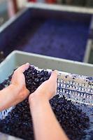 Europe/France/Midi-Pyrénées/31/Haute-Garonne/Toulouse: Confiserie - Fabrication des violettes de Toulouse à la Société Candiflor _ Sortie de la cristallisation, les fleurs naturelles sont trempées dans un sirop de sucre