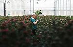 Foto: VidiPhoto<br /> <br /> GROESSEN – Werkzaamheden in de Bouvardiakwekerij van Clemens en Inge Borgijink in Groessen bij Arnhem.