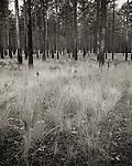 Longleaf Pine forests