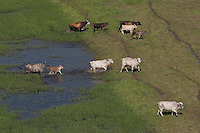 On David Walkers Cattle station, they are bringing helicopters to muster cattle and move them to higher ground.  The landscape fills with water during this season and the cattle get bogged and die if you don't move them out.