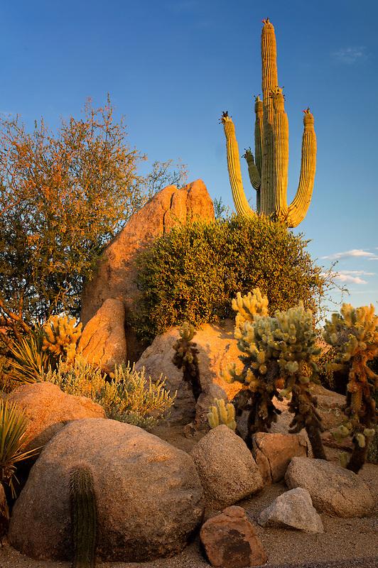 Cactus garden. Sonoran Desert. Arizona