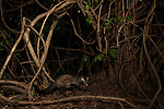 Common Palm Civet (Paradoxurus hermaphroditus) in rainforest at night, Sigiriya, Sri Lanka