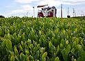 2018 new tea leaves harvesting