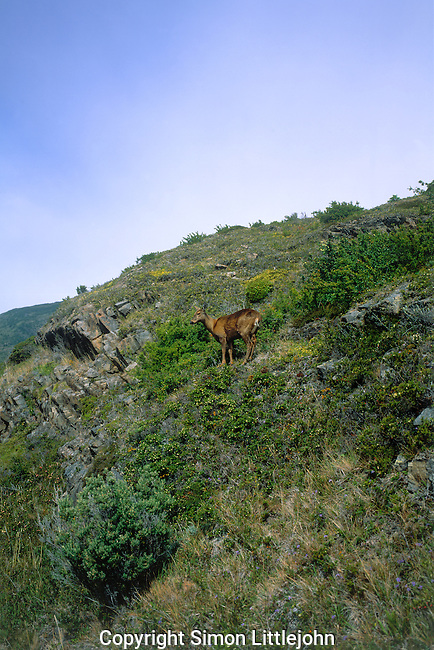 Adult female Southern Andean Huemul (hippocamelus bisulcus) standing on densely  vegetated hill looking out across valley. Torres del Paine National Park, Chile.
