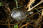 FL: Florida Everglades National Park, red belly turtle.Photo Copyright: Lee Foster, lee@fostertravel.com, www.fostertravel.com, (510) 549-2202.Image: flever201