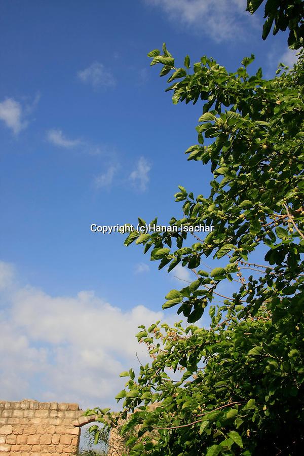Israel, Southern Coastal Plain, Mulberry tree at Al Nabi Rubin