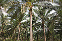 A grove of mature oil palm trees that are 23 years old. The Sindora Palm Oil Plantation, owned by Kulim, is green certified by the Roundtable on Sustainable Palm Oil (RSPO) for its environmental, economic, and socially sustainable practices. Johor Bahru, Malaysia