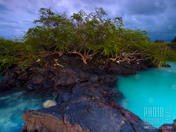 A kiawe tree grows along the harsh lava rock shoreline next to the turquoise waters of Kiholo Bay, Big Island.